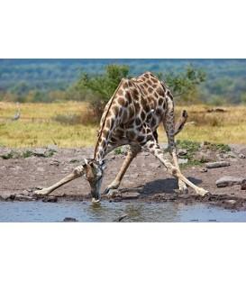 Banjo Safari